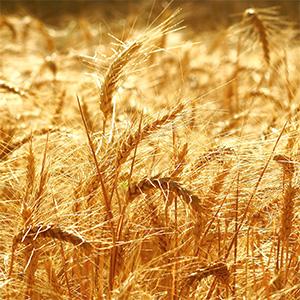spighe di frumento da cui si ricava la farina